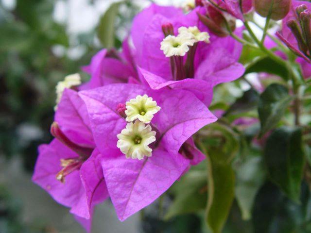 9 видов Бугенвиллеи для сада: Раскрываем секреты выращивания