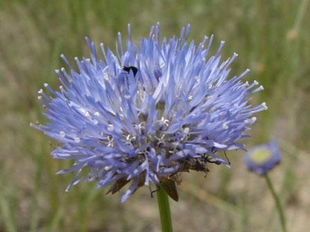 4 вида Букашника: Раскрываем секреты выращивания