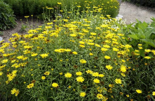 Буфтальмум для сада: Секреты выращивания