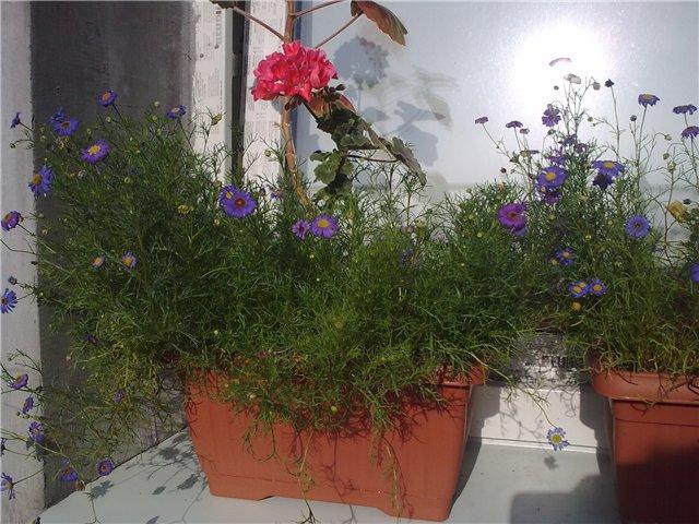 3 вида Брахикомы: Раскрываем секреты выращивания