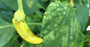 Особенности возникновения болезней перца и способы борьбы с ними