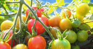 Покраснеть по-быстрому: как ускорить созревание помидоров