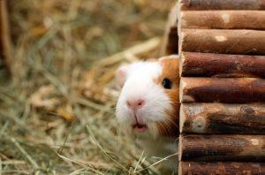 Жизнь морской свинки в домашних условиях