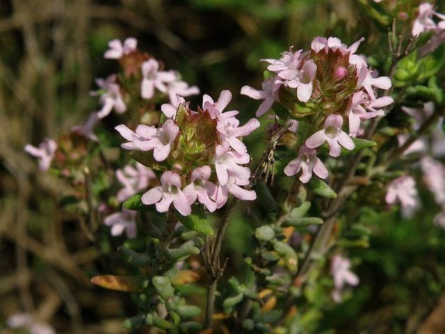 3 вида Тимьяна (Чабрец, Богородская трава): Раскрываем секреты выращивания в саду