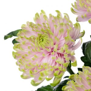 Селекция хризантем