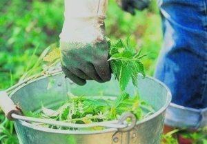 Жидкий компост из крапивы жгучей