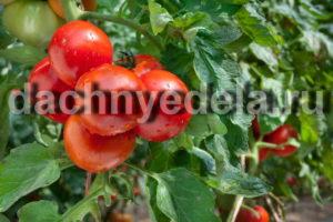 Золотые правила выращивания томатов