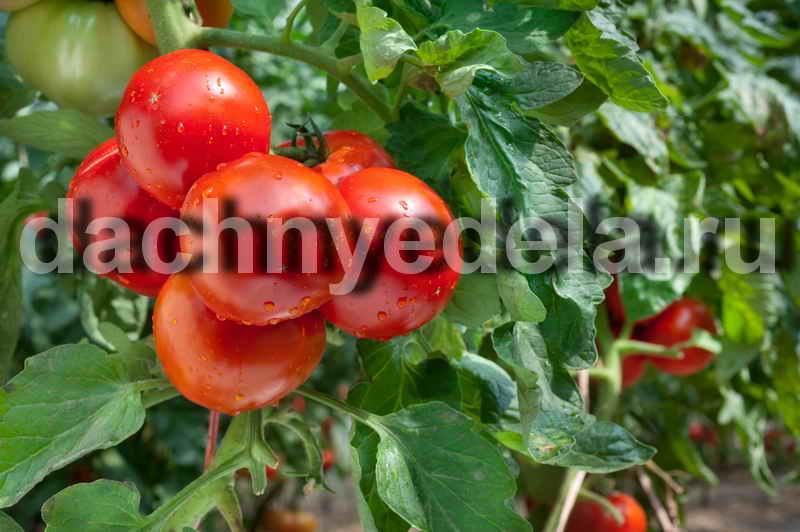 Волшебный бальзам для помидор