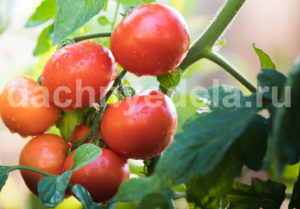 Когда и как пасынковать помидоры