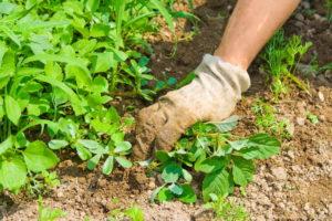 Как вырастить клубнику в шинах