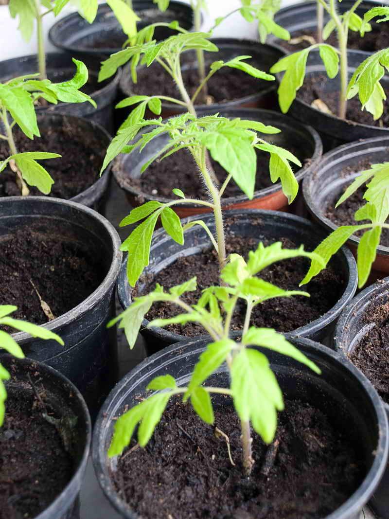 9 советов для успешного выращивания томатов