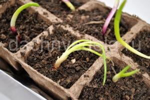 Сода и марганцовка для выращивания лука