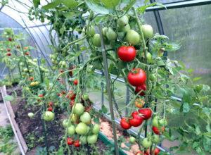 Заповеди выращивания томатов