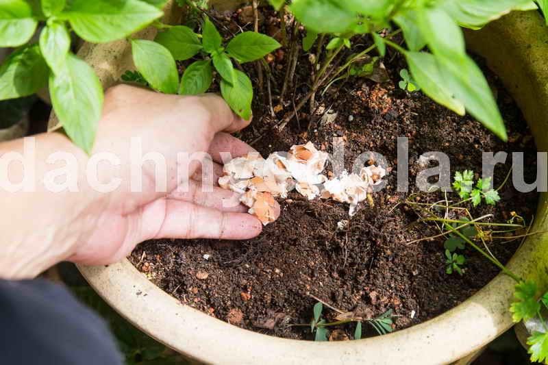 Яичная скорлупа для рассады и цветов