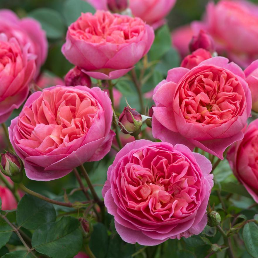 Розовые ароматные садовые цветы фото конструкции металла
