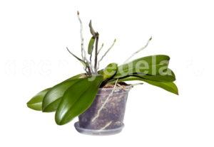 Трещины и пятна на листьях орхидеи: что делать
