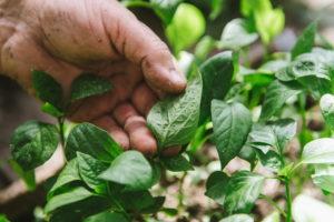 Как спасти перец от стеблевой гнили