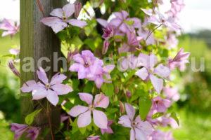 5 подсказок по выращиванию клематиса