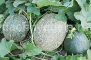 Все секреты выращивания дыни