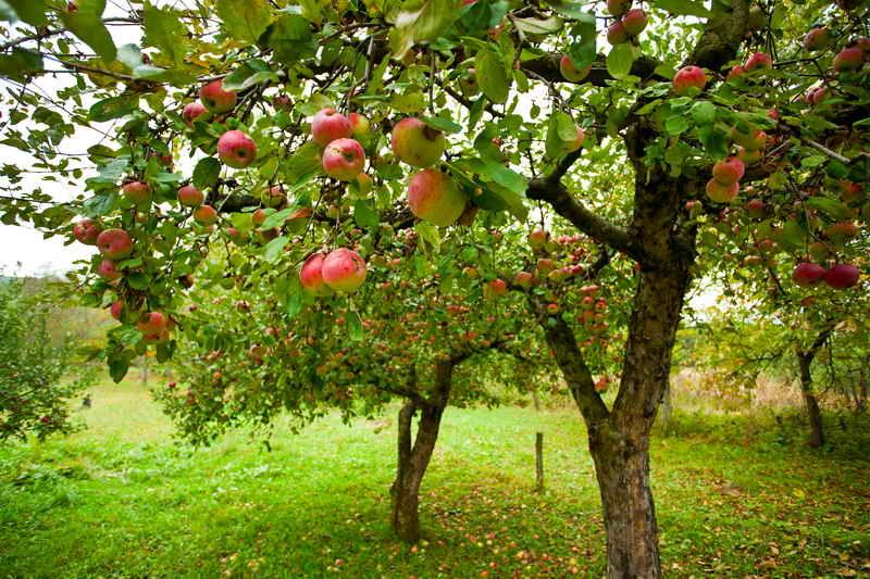 Чем удобрять яблоню