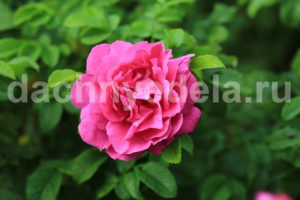 """Супер средство """"Тройчатка"""" для проращивания роз"""