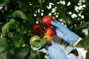 Жаростойкие томаты