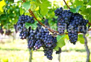 Опасный враг винограда