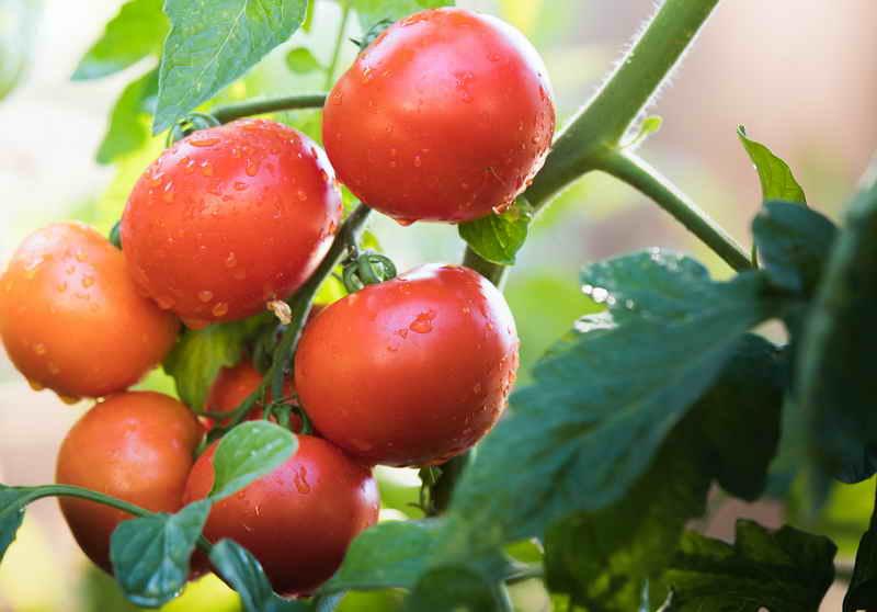 Зачем помидорам поваренная соль