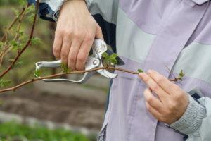 Как обрезать малину осенью? почему важна осенняя обрезка