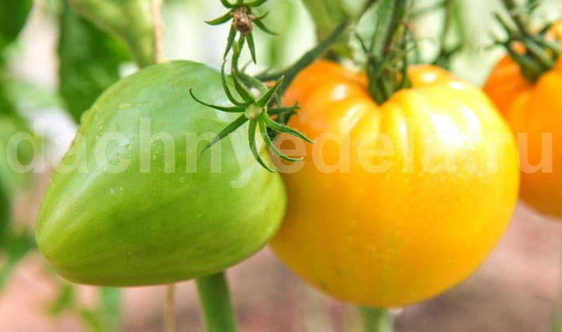 Самые урожайные сорта желтых помидоров