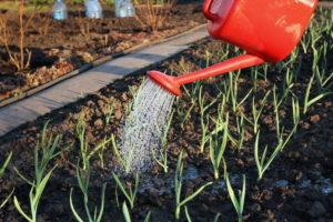 Как собрать урожай лука размером с кулак