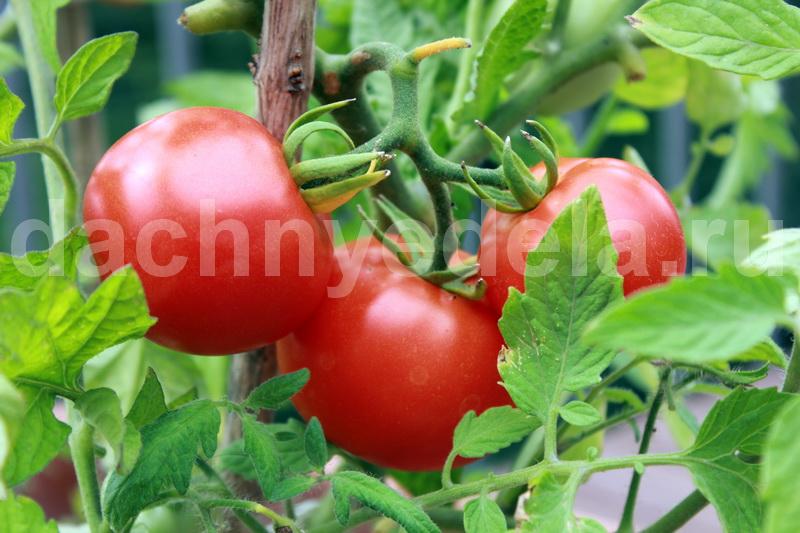 Чесночно-йодовая терапия для томатов