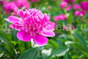 Чем подкормить пионы для пышного цветения