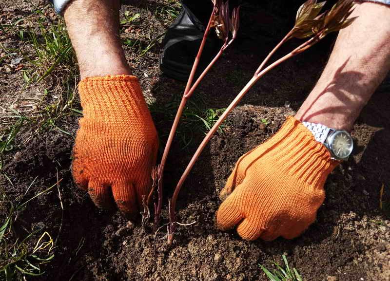 Выращивание пионов