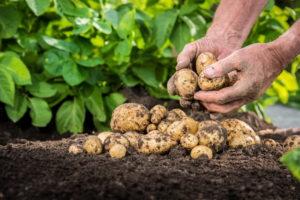 Картофель: секреты хорошего урожая