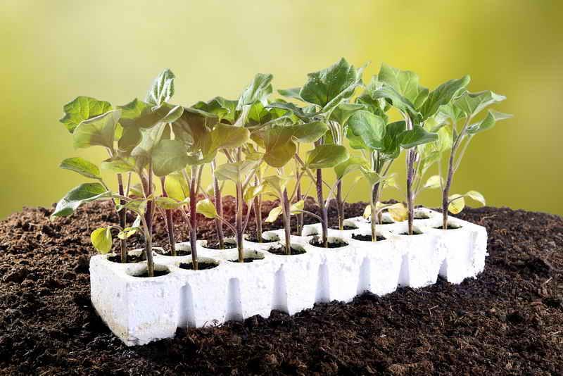 Как посадить баклажаны