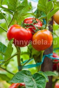 Как подкармливать томаты и не перекормить