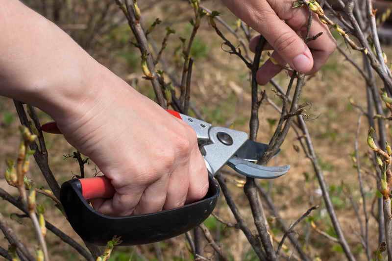 Как омолодить куст черной смородины и улучшить урожай