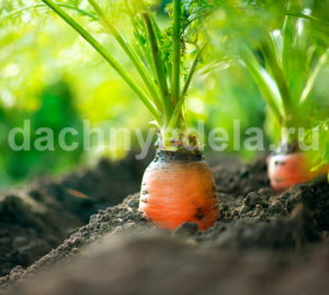 Подкормка моркови после всхода