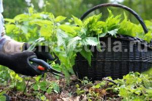 Делаем удобрение из крапивы
