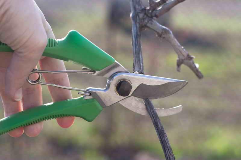 5 ошибок при обрезке винограда