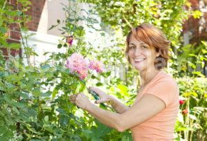 Выращиваем розу из картошки