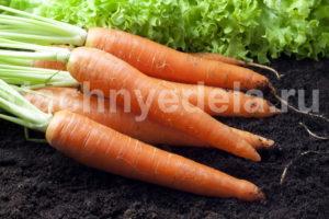 Морковные премудрости. Опыт выращивания крупной и вкусной моркови
