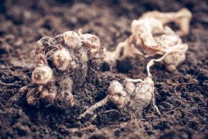 Как вырастить дома имбирь