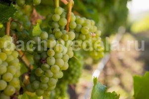 Как выращивать виноград без особых хлопот