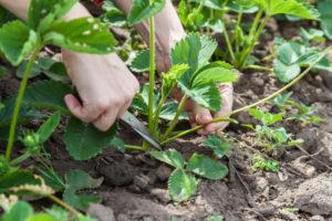 Опыт выращивания голландских сортов земляники