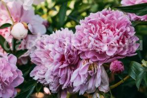 Что делать с пионами после цветения - обрезка и уход
