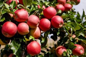 Почему не плодоносят яблони