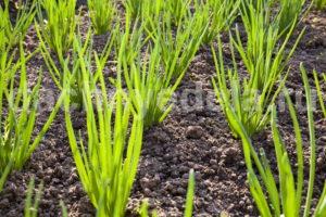Как вырастить крупным лук. А ещё чтобы и хранился долго