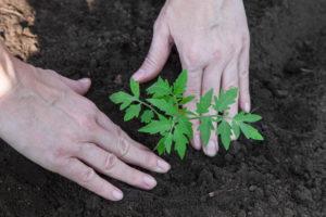 Нашатырный спирт - защитник растений